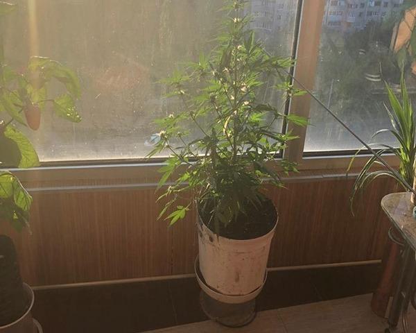 Выращивал коноплю в квартире семена канабиса купить в россии